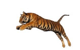 tiger png transparent images