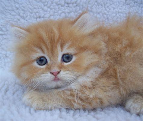 persian cats in orlando my persian kittens persian orange persian male kitten by sixtiesmama on deviantart