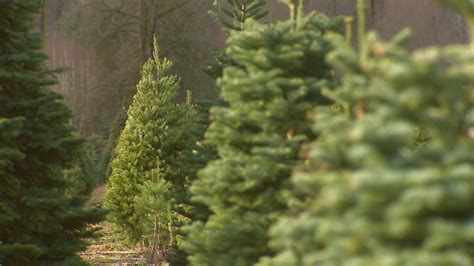 trouble shoot a spiral christmas tree odf invasive pest brought into oregon on trees could pose problem for forests komo