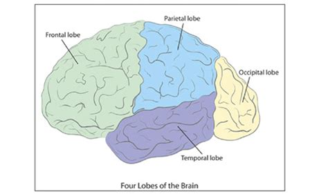 What Are The Four Sections Of The Brain by Get To Your Brain