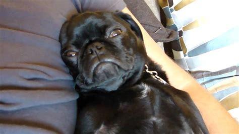 darth pug darth vader pug black pug puppy snoring loudly