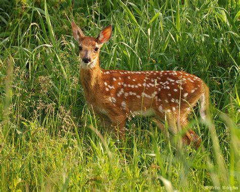 Du Deer Fit L cerf wikimini l encyclop 233 die pour enfants