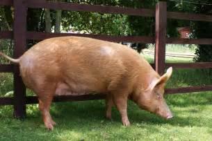 Tamworth pigs visit tamworth