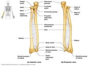 Radius by Units 9 10 Radius Ulna Wrist And Hand Human Anatomy