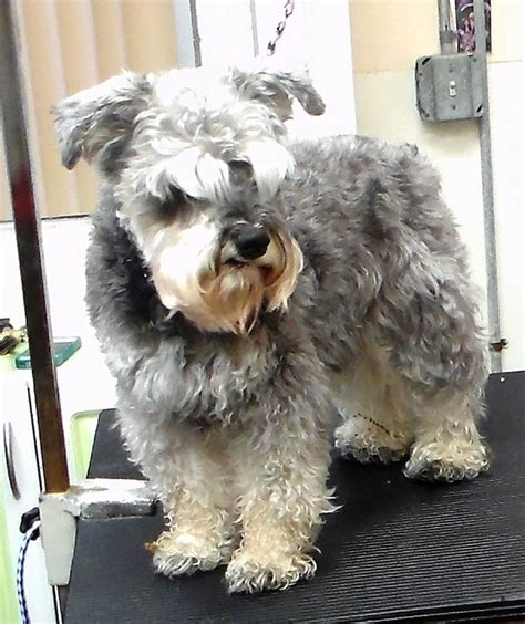 Schnauzer Hair Type by Types Of Schnauzer Haircuts Pictures To Pin On