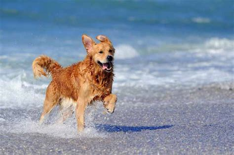 small breed golden retriever 35 best medium and small dogs for top tips