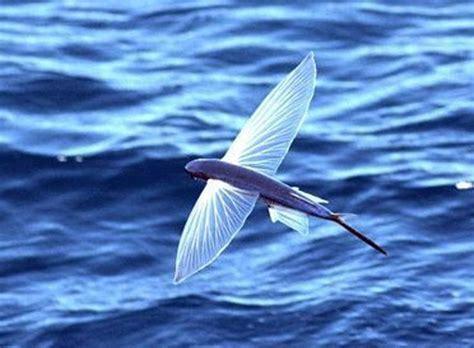 il pesce volante pesce volante fish pesce mare tipi di pesce