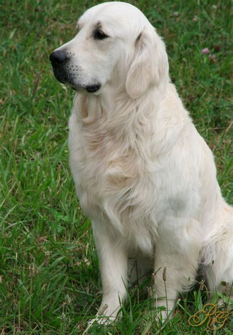 golden retriever best best 25 white golden retrievers ideas on