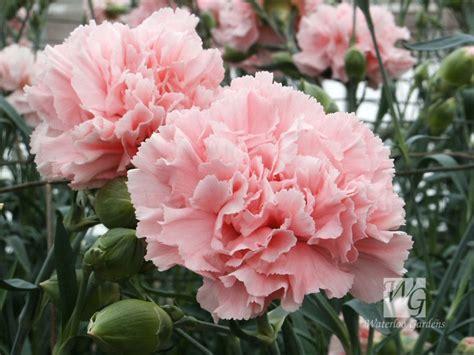 Wallpaper Bunga Carnation | nurul ngerepak diy bunga tissue carnation