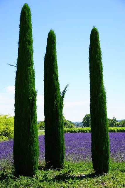 photo cypress lavender field lavender  image