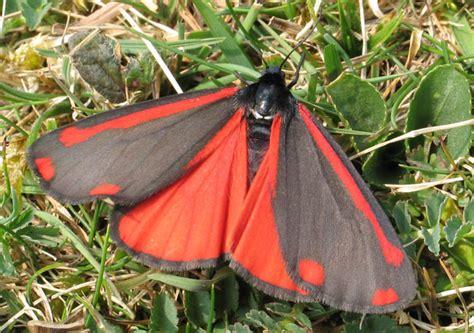 red and black butterflies butterfly conservation cinnabar