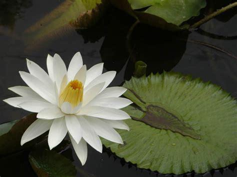 nymphaea lotus tiger lotus world of flowering plants