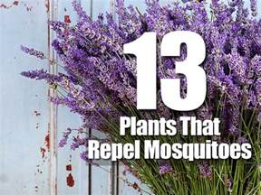 what plants keep mosquitoes away 13 mosquito repelling plants for the garden vallarta tribune