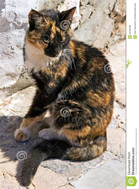 greek calico cat stock photography image