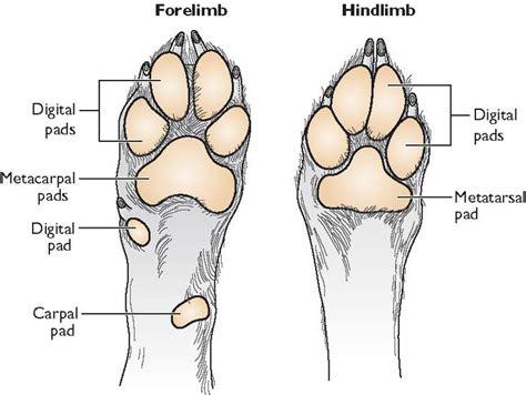 paw anatomy anatomy of a s paw search dogs r awesome anatomy