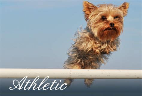 yorkie club of america the terrier club of america