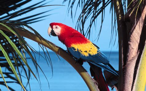 parrot scarlet macaw wallpapers and images wallpapers