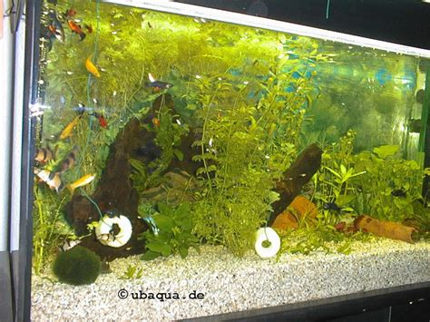Schnecken Im Aquarium Halten by Schmerlen Und Schnecken
