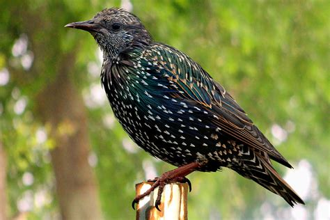 starling bird facts images