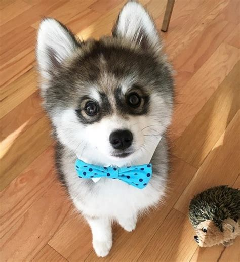 pomeranian breeders in northern california norman the pomsky is instagram s cutest new real stories news reveal