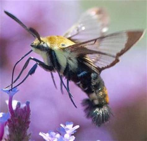 bugs or birds tell hummingbirds and hummingbird moths