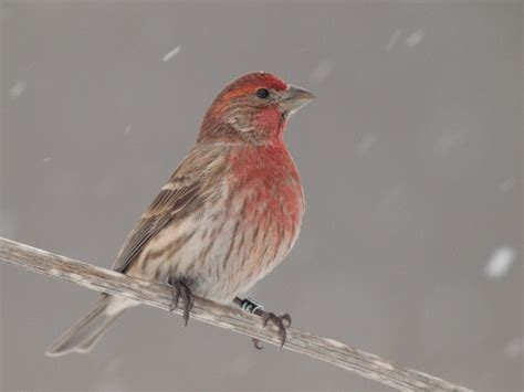 do house finches migrate 28 images it rained then it