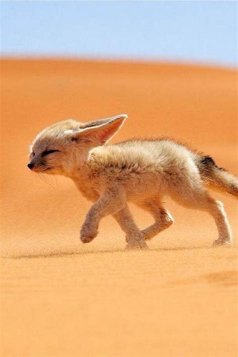 most adorable animals 25 best ideas about fennec fox on pinterest fox fox