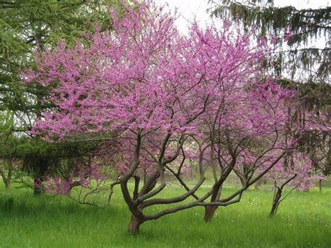 eastern redbud cercis canadensis northern strain should be selected to survive zone 5 front