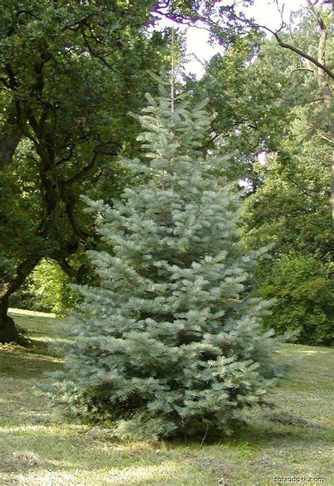 does concolor fir smell like oranges concolor white fir forest for the trees