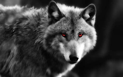 black and white wolf 18 desktop background t 233 l 233 charger fonds d 233 cran loup les pr 233 dateurs les yeux