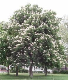 horse chestnut zone 3 large shade tree white candle