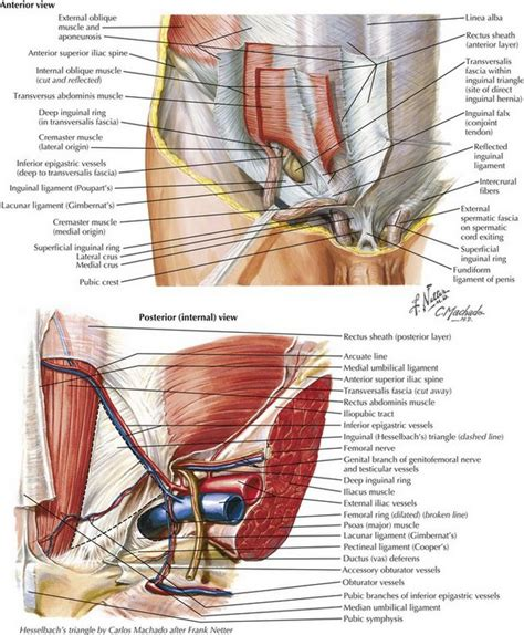 pulled groin diagram anatomy muscles awesome diagram groin muscles groin