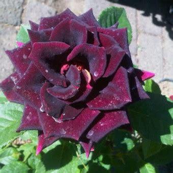Bibit Bunga Mawar Hitam benih mawar hitam black