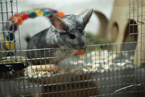 chinchilla bedding bedding options for pet chinchillas