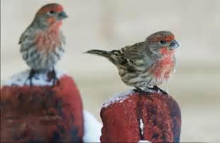 Backyard Bird Count House Finch Audubon Field Guide