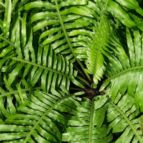 house plants fern plants mix hardy perennial indoor