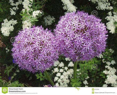 aglio fiore fiori dell aglio fotografie stock immagine 873233