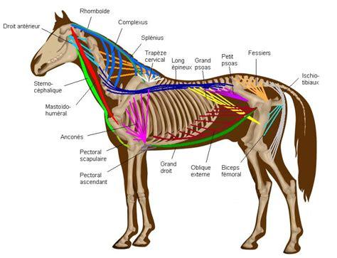 horses muscles diagram anatomie en fysiologie het paard