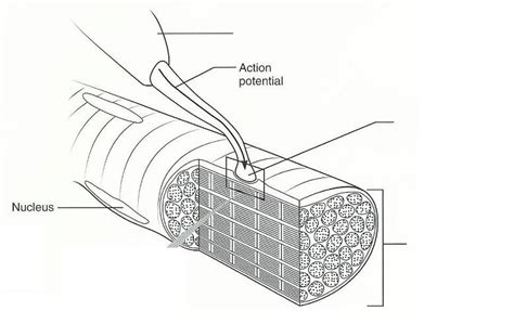 the diagram illustrates a small portion of several myofibrils exercise 14 microscopic anatomy and organization of