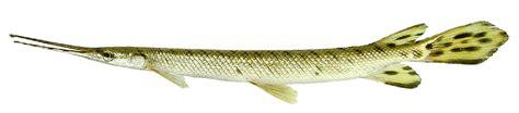 Spatula Biasa alligator fish atractosteus spatula artbox desain