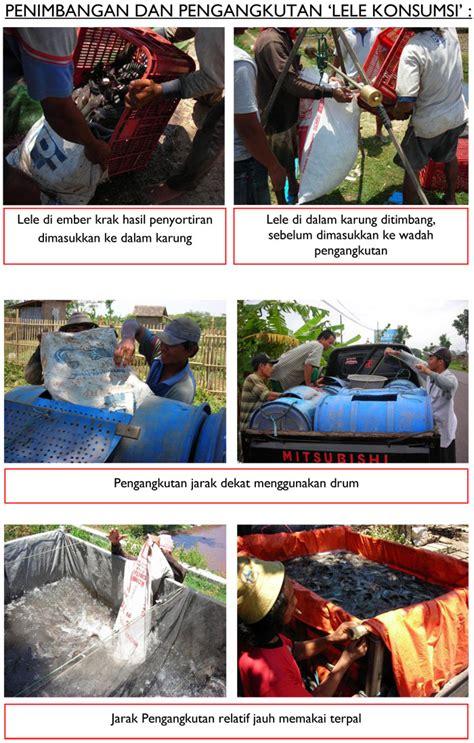 Bibit Ikan Gurame Magelang foto cara pemijahan ikan jual benih ikan murah