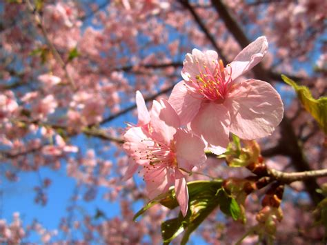 9 Reasons I Love Hanami In Japan Getting Drunk And Japanese Cherry Blossom Flower