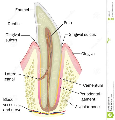 cross section of a tooth cross section of incisor tooth stock vector image 61657947