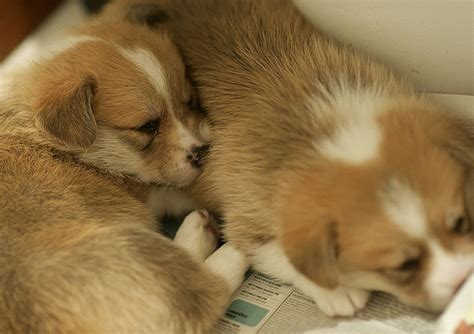 how much do corgi puppies cost corgi dogs photos png