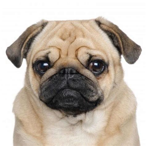 non shedding pug pug breed 187 information pictures more