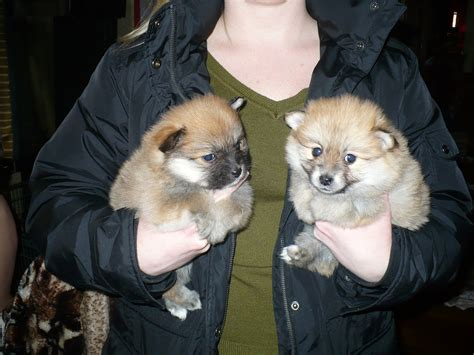 pomeranian grooming tips ohio boston terrier puppies