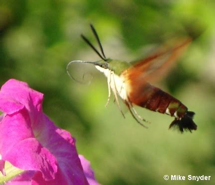 i saw a moth that looks like a hummingbird what is it