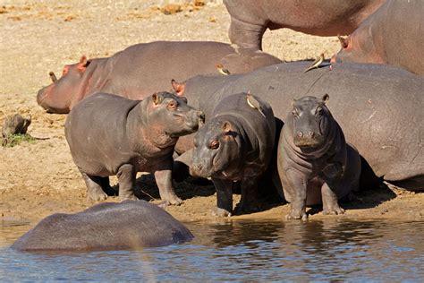 hippo facts animal facts encyclopedia