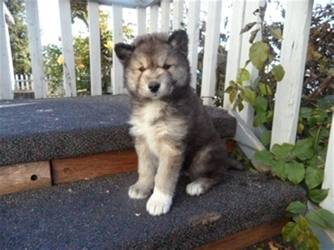 arctic wolf puppies for sale timber wolf mix white arctic wolf mix siberian husky just chibi animals gt