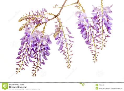 copy right free pictures of purple wisteria beautiful wisteria flowers stock photo image of blue 4711546